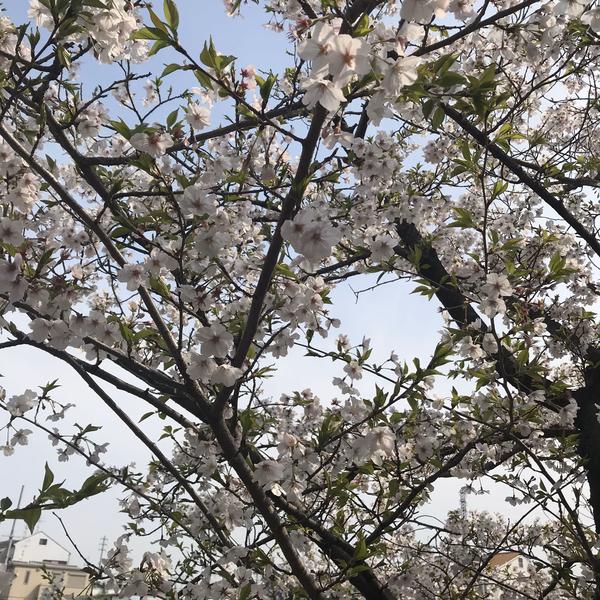 桜がもう、、、